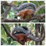 Variegated Squirrel 1Hotel Tempisque